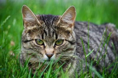 Getigerte Katze im Gras